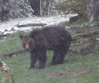 grizzly in snow 2.jpg.jpg