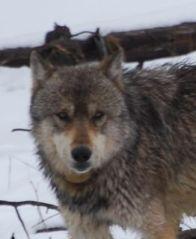 gery wolf close.jpg.jpg