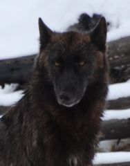 black wolf close.jpg.jpg