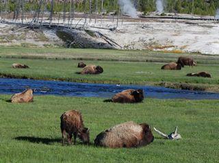 bison in sun.jpg.jpg