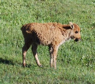bison calf stretching.jpg.jpg