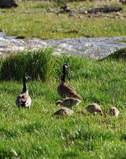 canadian geese family.jpg.jpg