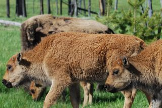 bison calves with new horns.jpg.jpg