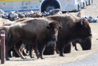 bison glance.jpg