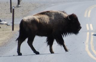 walking bison.jpg copy.jpg