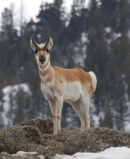 curious pronghorn.jpg copy.jpg