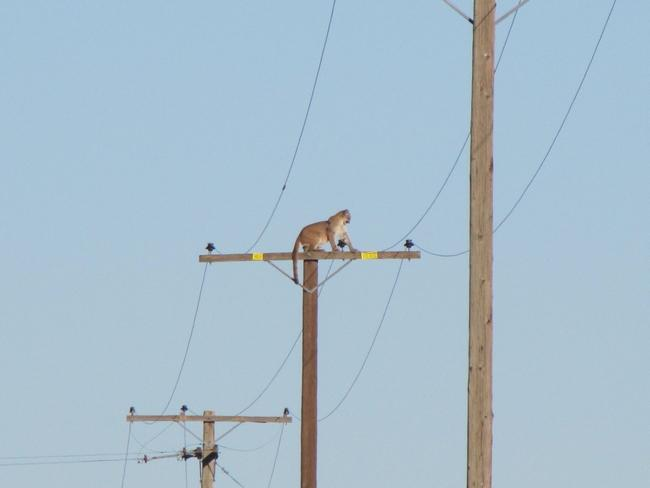 Only in California: a mountain lion climbs a telephone pole to escape screaming children. Photo by Peter Day/Daily News