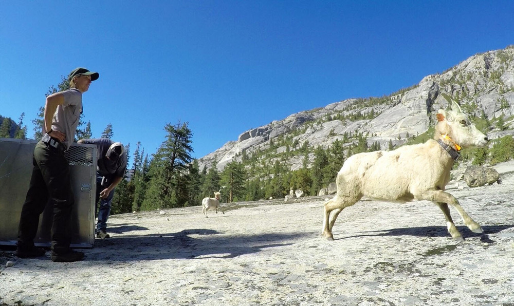 NPS Biologist Sarah Stock watches as bighorn sheep are released into Yosemite's Cathedral Range. Photo via NPS.