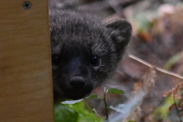One of the four fisher kits released into Yosemite peeks out at his new home. Photo by Beth Pratt