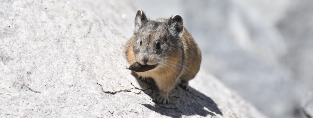 Pika with a marmot poop meal, Yosemite National Park, photo Beth Pratt