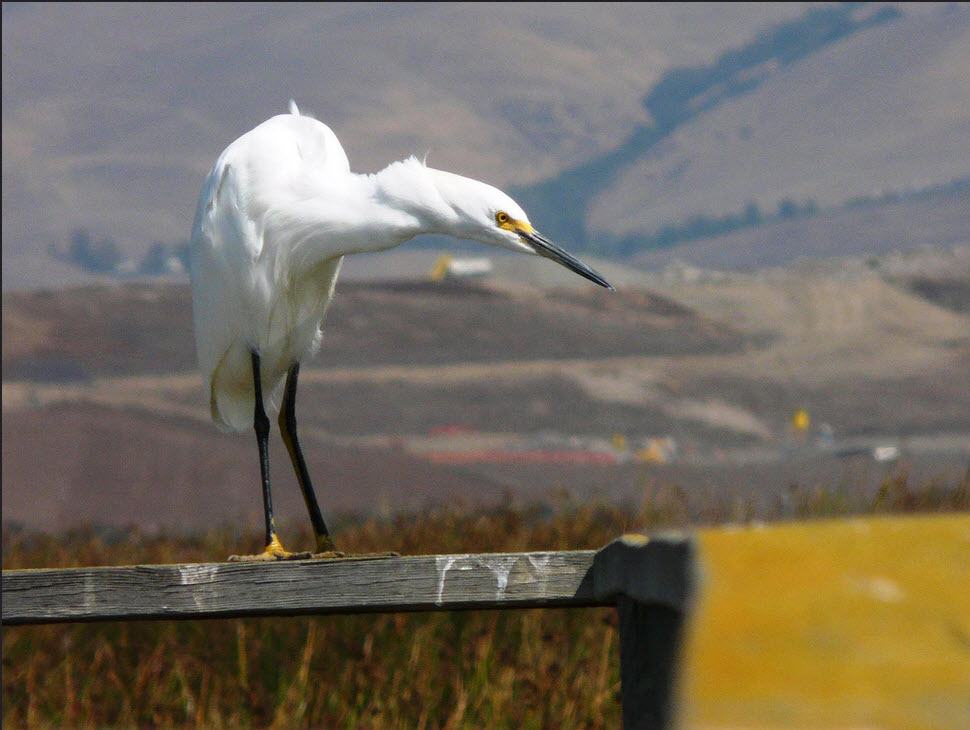 Snowy Egret hunts while perched on a fence at Don Edwards National Wildlife Refuge. ( Photo Gregg Aronson/USFWS)