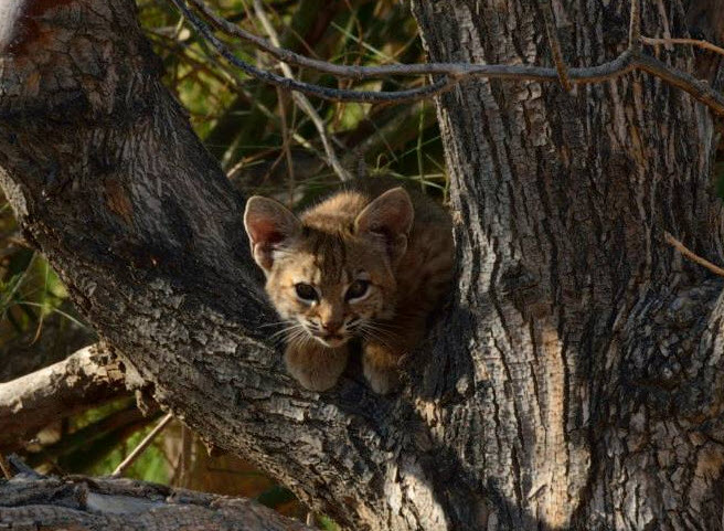 A bobcat kitten peeks out from a tree at the Sonny Bono Salton Sea National Wildlife Refuge Complex (photo Sonny Bono NWR )