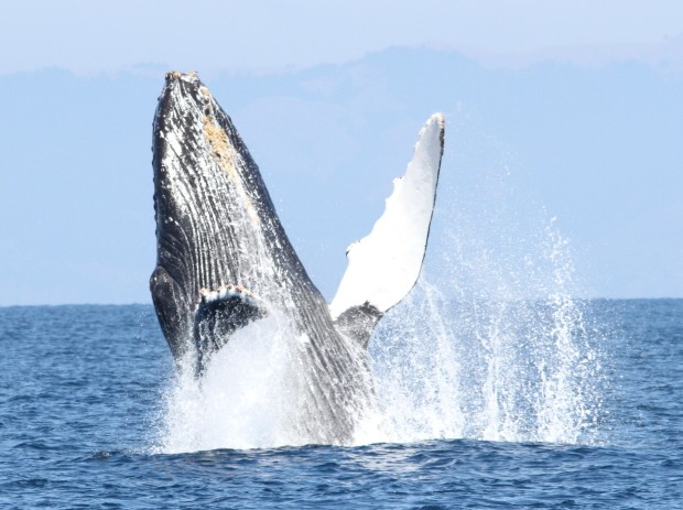 A humpback whale breaches in the waters off the Farallon National Wildlife Refuge (Photo by Isidore Szczepaniak).