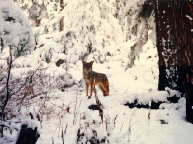 During my first visit to Yosemite in 1992, I encountered a friendly coyote on a winter day in Yosemite Valley. Photo by Beth Pratt.