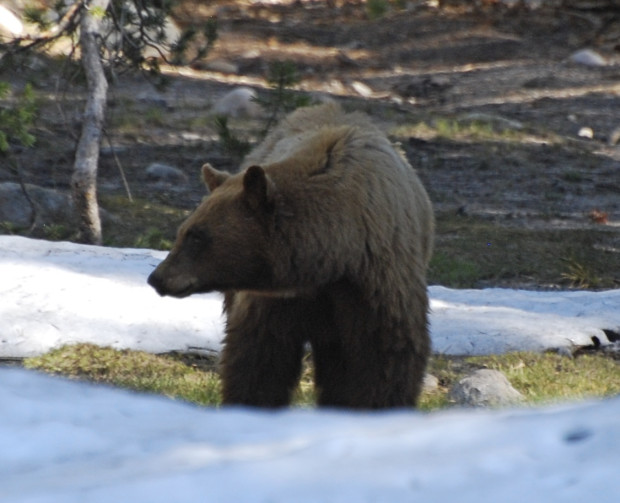 I'm always delighted to see one of Yosemite's black bears on my hikes. Photo by Beth Pratt