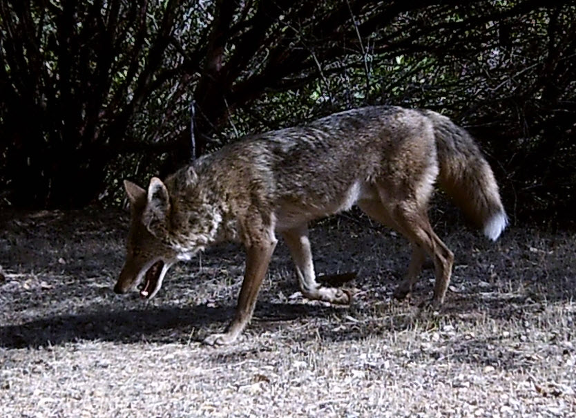 a wandering coyote