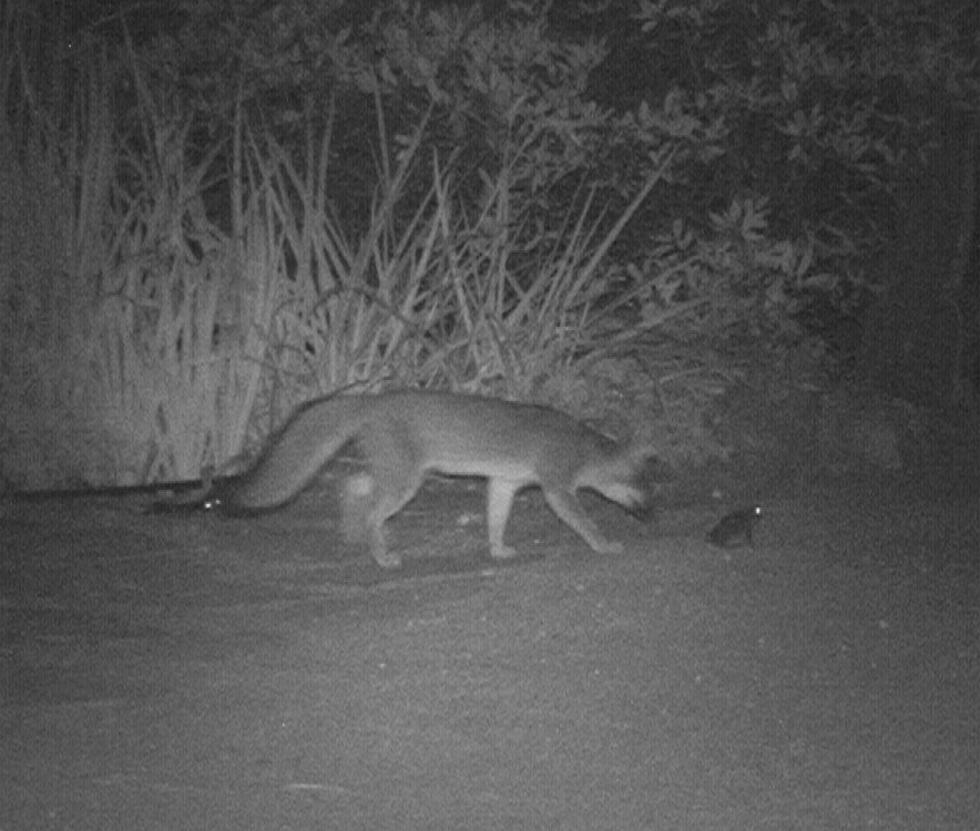 gray fox and western toad-the fox did not eat the toad.