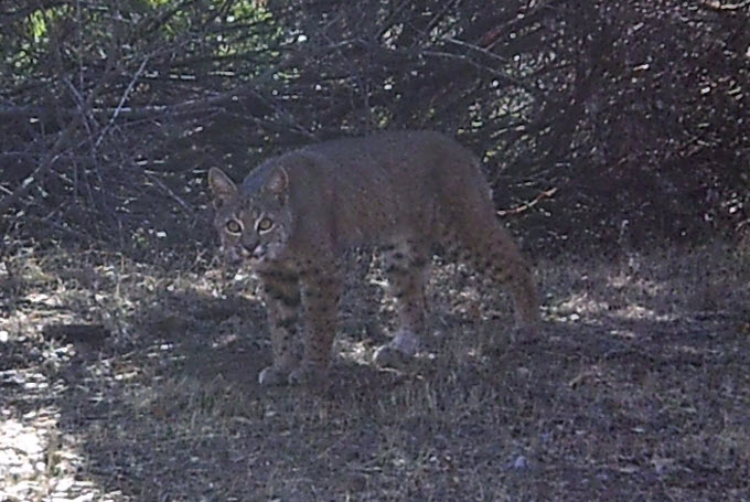 bobcat posing for the camera