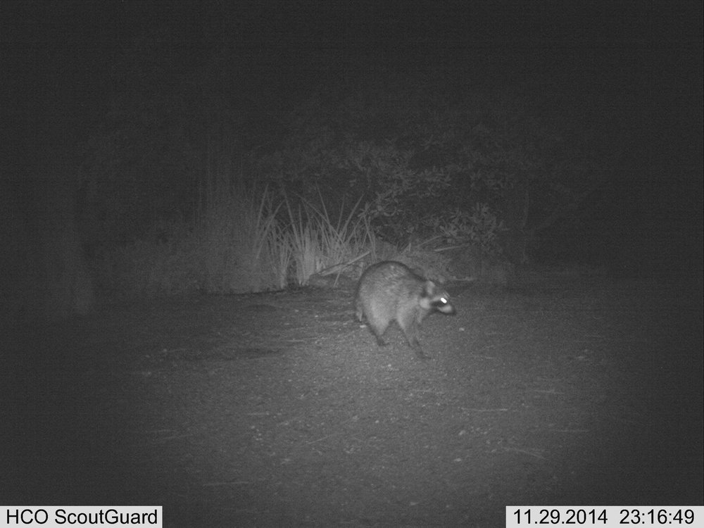 raccoon visiting the frog pond
