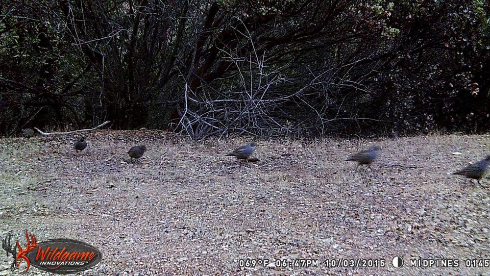 a parade of quail