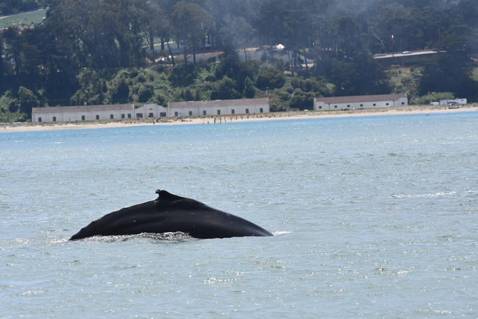 Humpback whale in San Francisco Bay. Photo Beth Pratt-Bergstrom