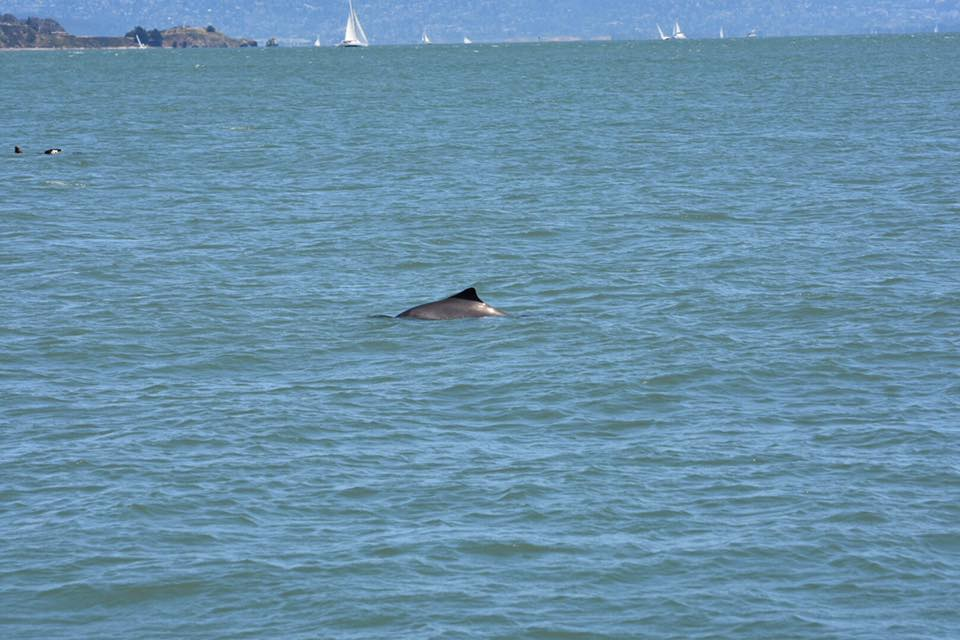 Harbor porpoise in San Francisco Bay. Photo Beth Pratt-Bergstrom