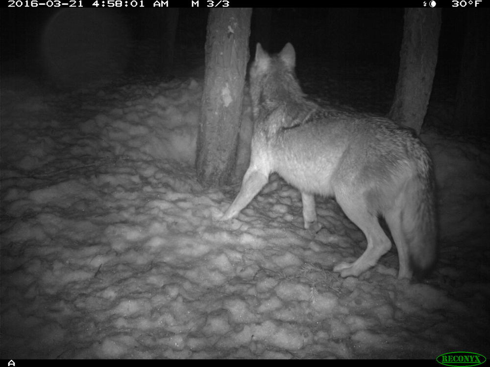 A possible new wolf in Lassen County. Photo California Fish and Wildlife