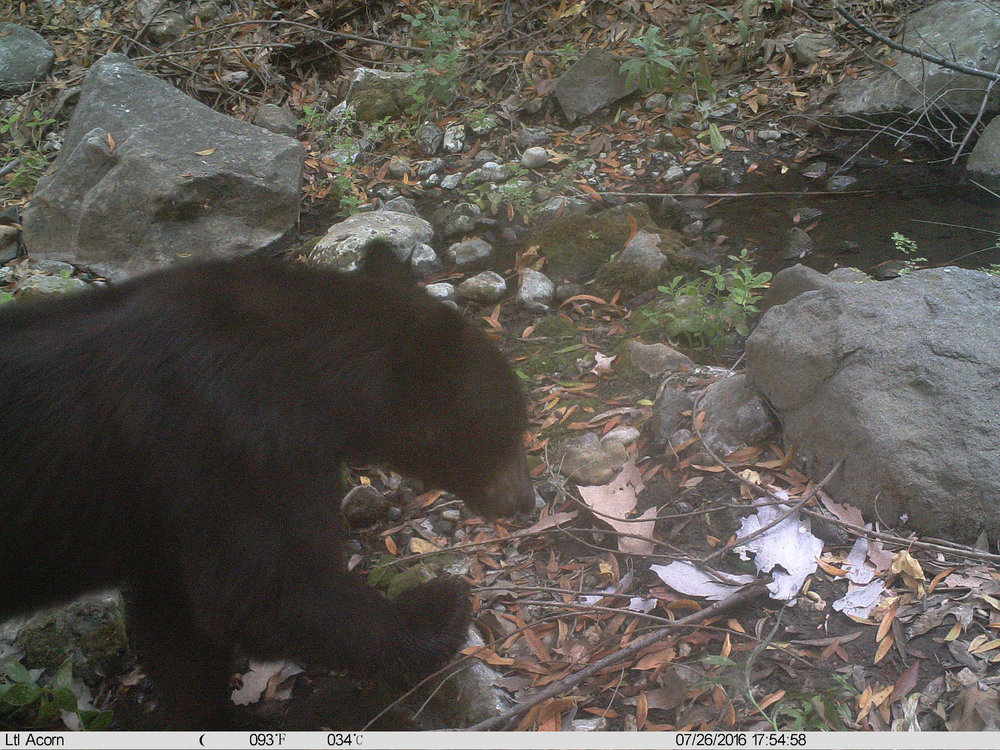 Welcome to the Santa Monica Mountains, bear! Photo National Park Service