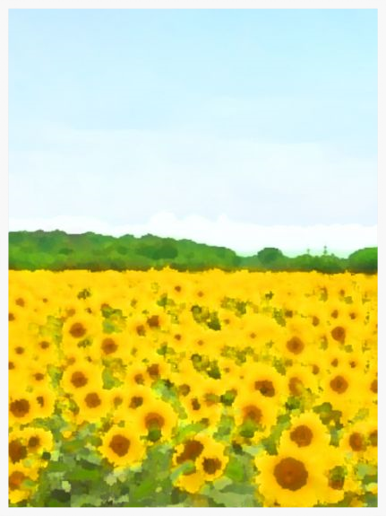 Snape Sunflowers  - UltraCrome on UV cured Photographic Board Framed 60x77cm (portrait) | Price £875 Framed. Print run of 25