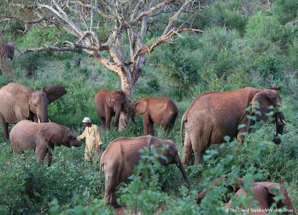 Older orphaned elephants explore Ithumba Reintegration Unit