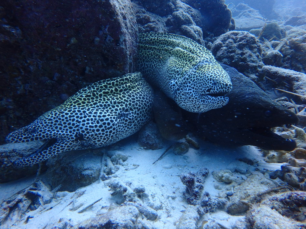 The scavengers of the deep.....Moray eels