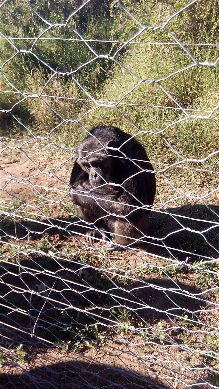 Chimpanzee Sanctuary OI Pejeta Kenya