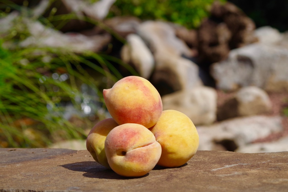 Alberta, known as Ugly Peaches. Heirloom variety.