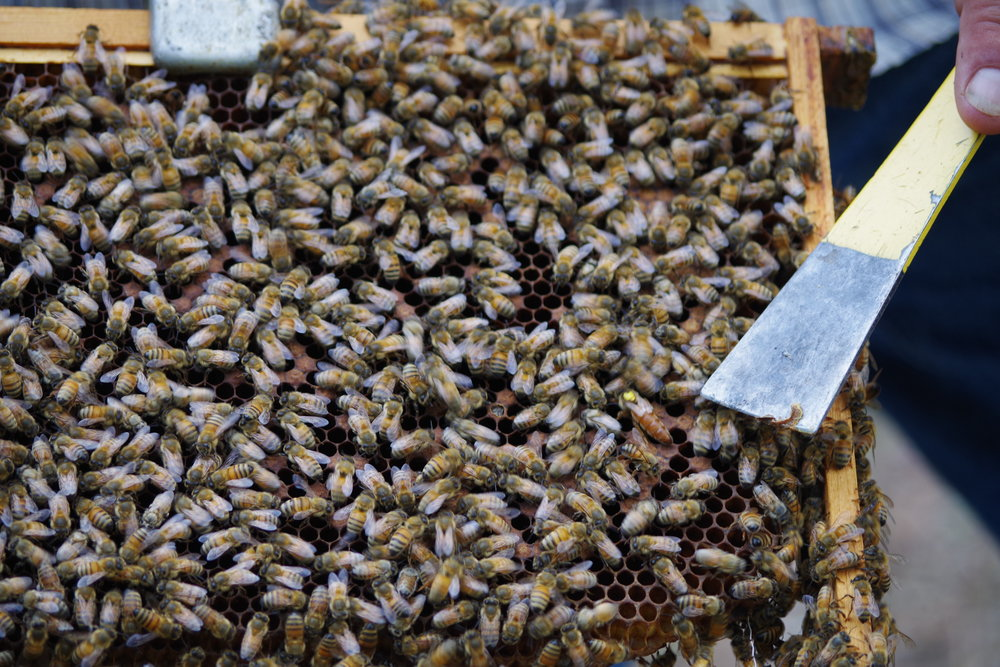 Can you find Queen Bee? Most Beekeepers mark their Queens with a small dot. This allows them to better keep track of each hive.