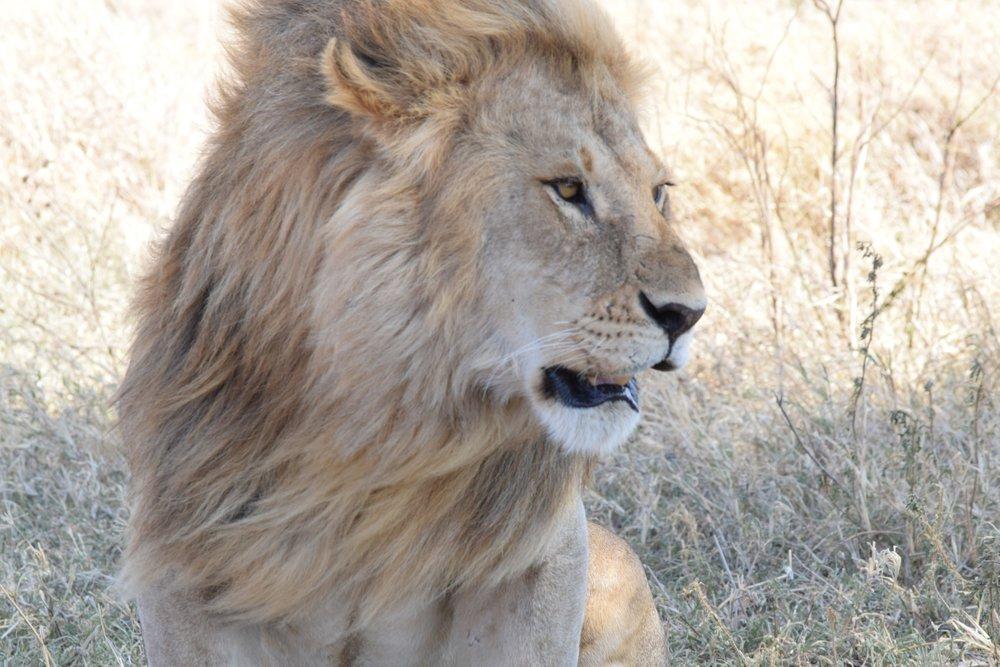 Simba/Lion