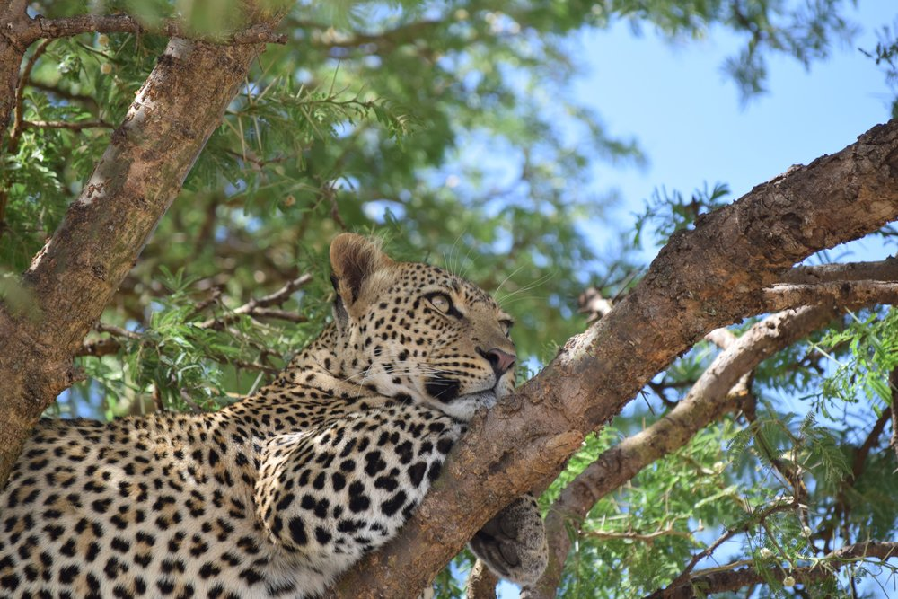 Chui/Leopard