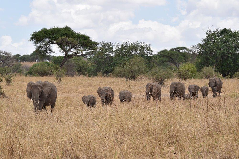 Tembo/Elephant