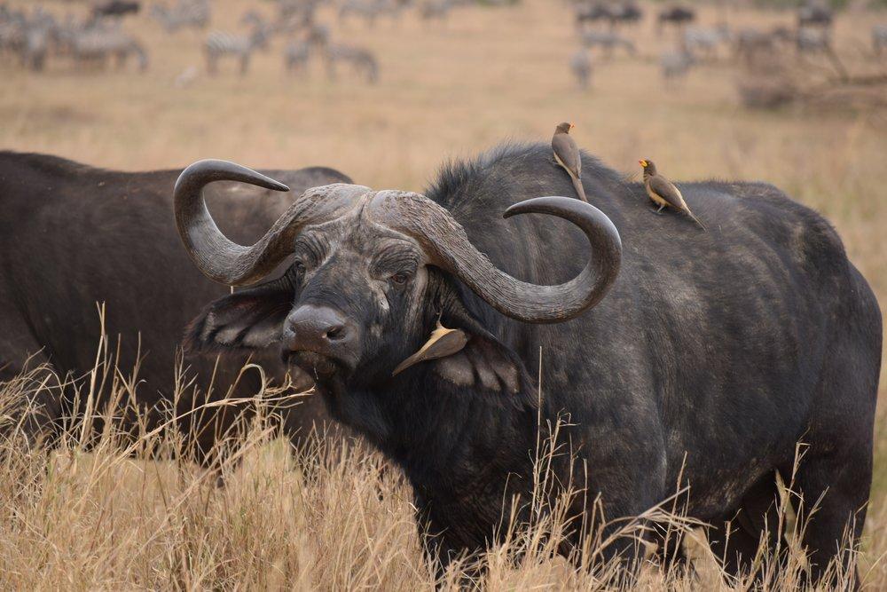 Nyati/Buffalo