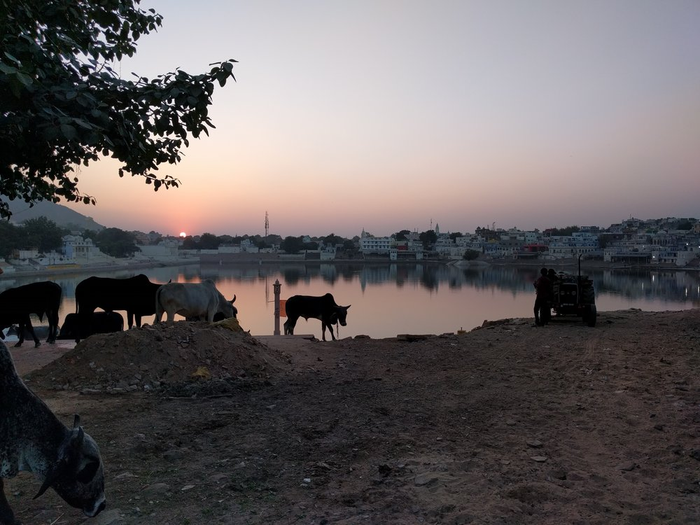 Sunset (and cows) over the holy lake in Pushkar