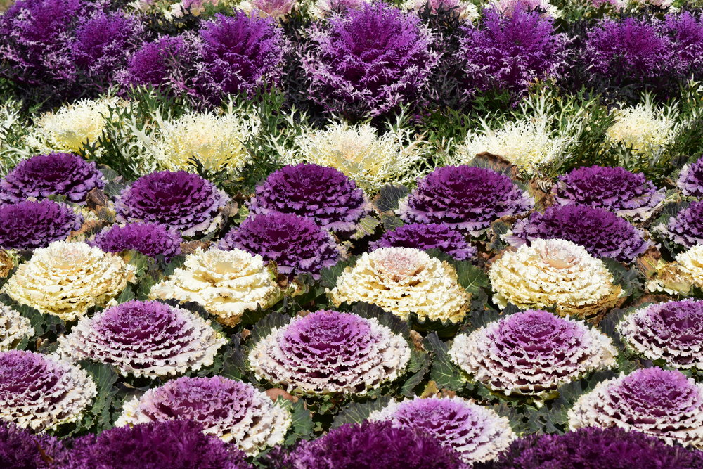I am in love with all of the ornamental cabbage I have seen around Japan!