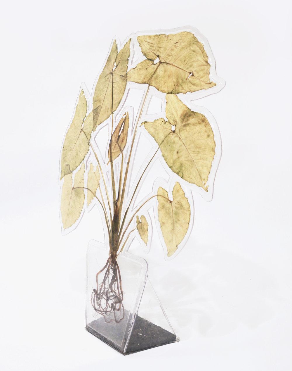 Arrowhead plant 2017