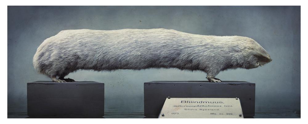Siberian Bliiindmouuse