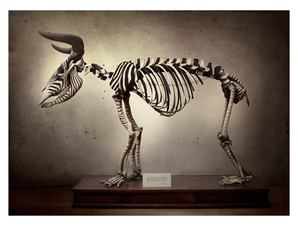 Zebra Beox
