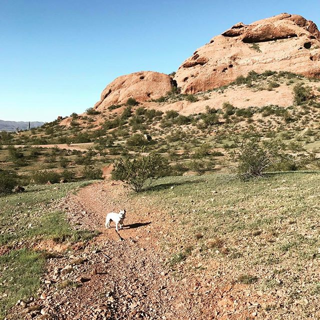 My hiking buddy this morning.  #hiking #phoenix #arizona #frenchiesofinstagram #frenchbulldog