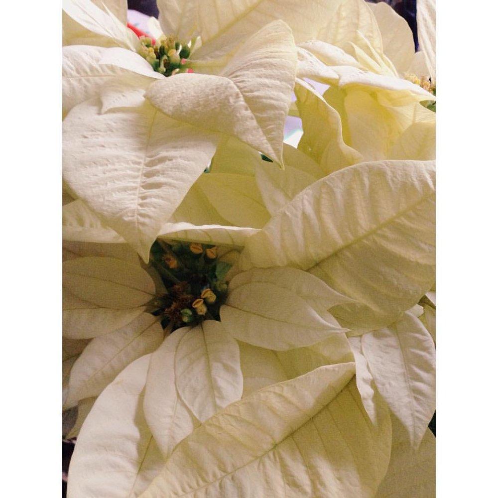 White Poinsettia for Yule