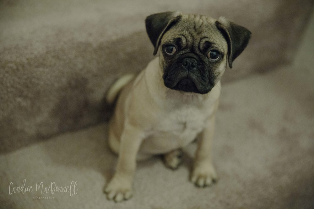 photo of a pug puppy - www.candicemphoto.com mid missouri family lifestyle photography