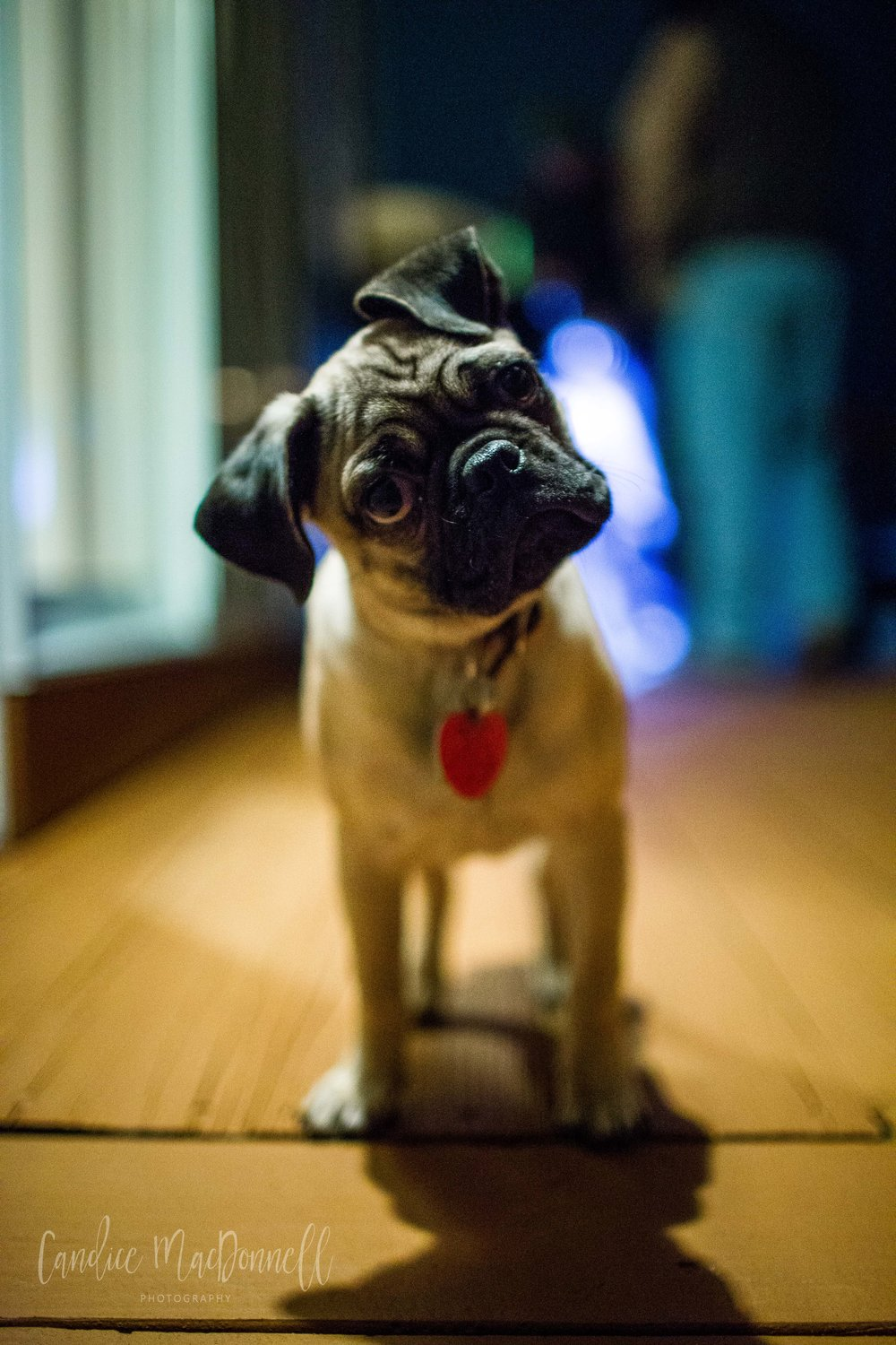 pug puppy, fort leonard wood family photographer