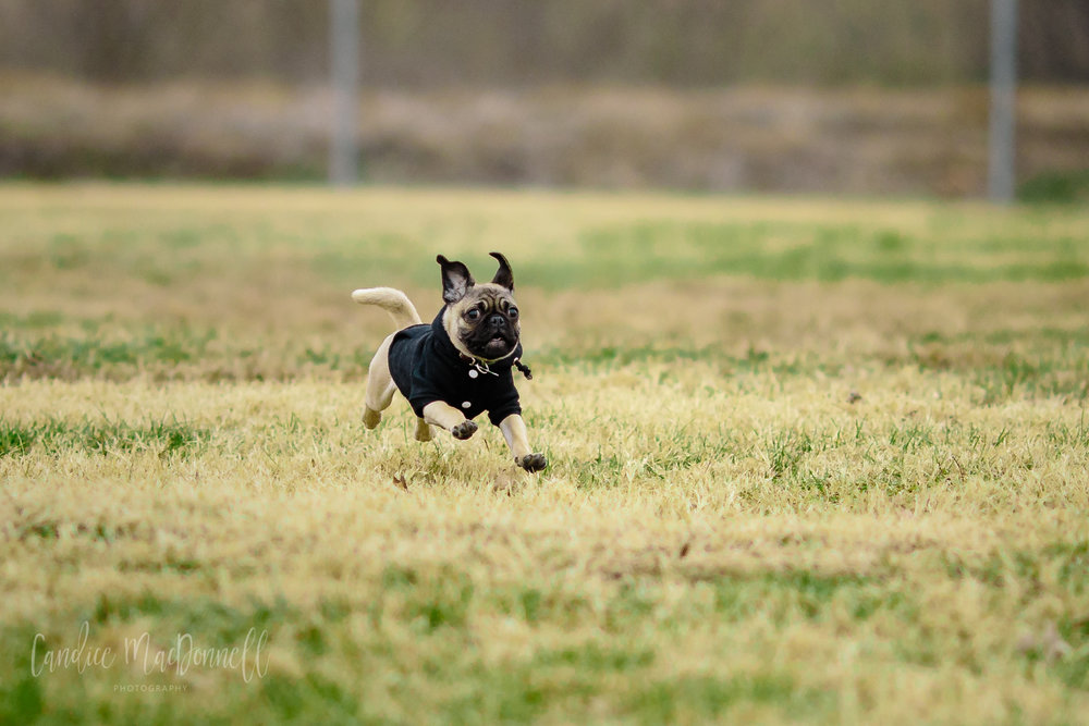 pug puppy running at dog park fort leonard wood missouri