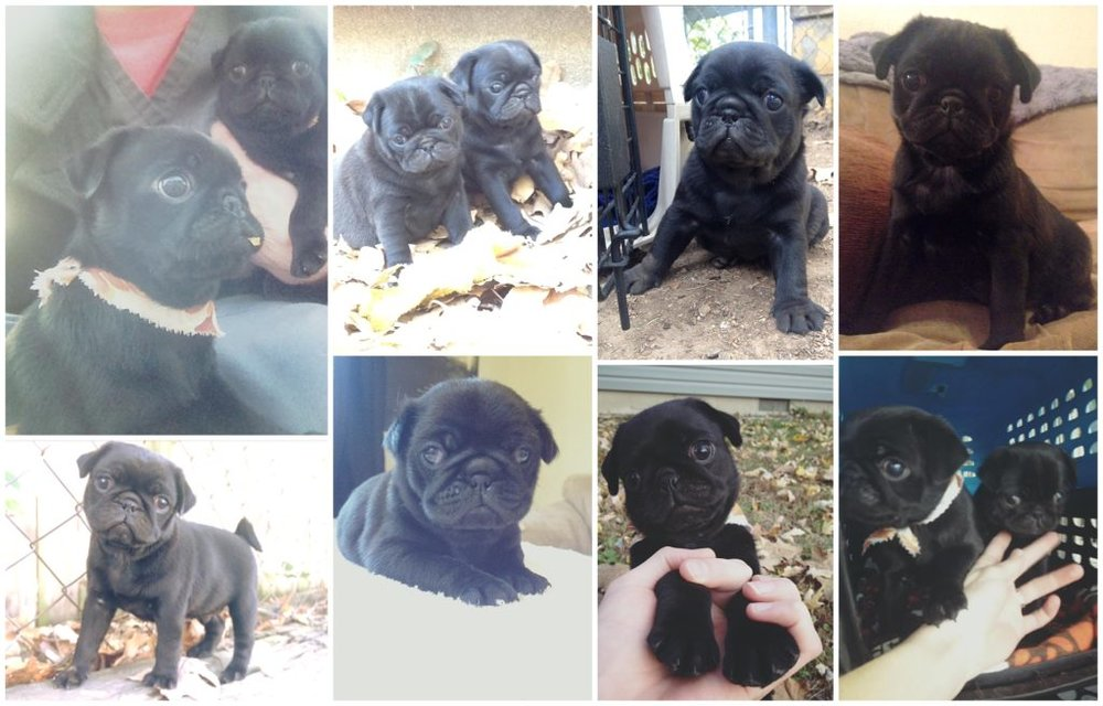 photos of a baby black pug and his sister