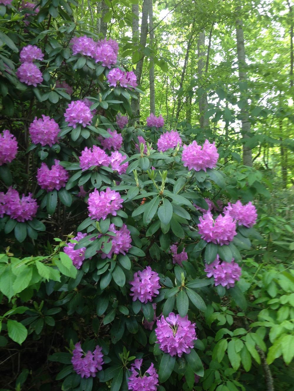 Backyard rhododendron